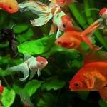 золотая-рыбка-02