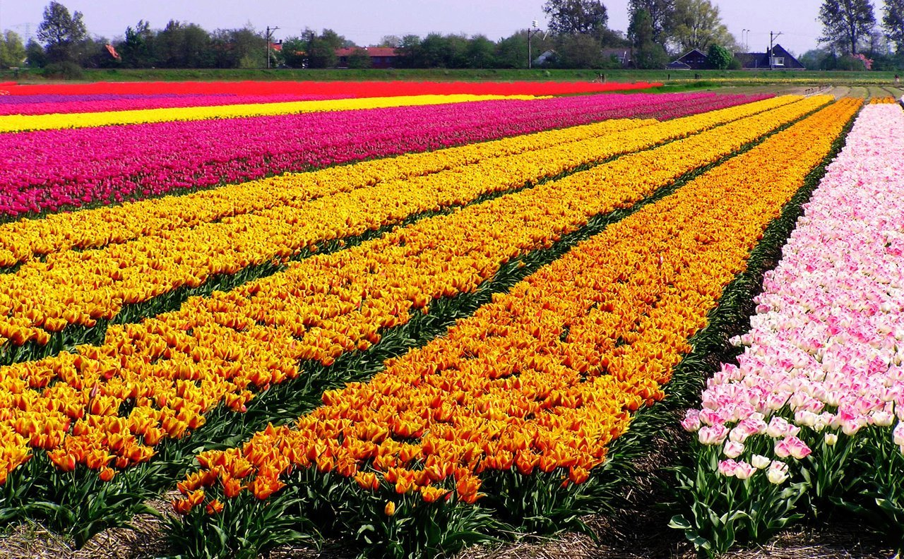 Dutch_Tulip_Fields_I_by_aidavdbrake (1)