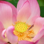 Nelumbo-Thailand-original-1