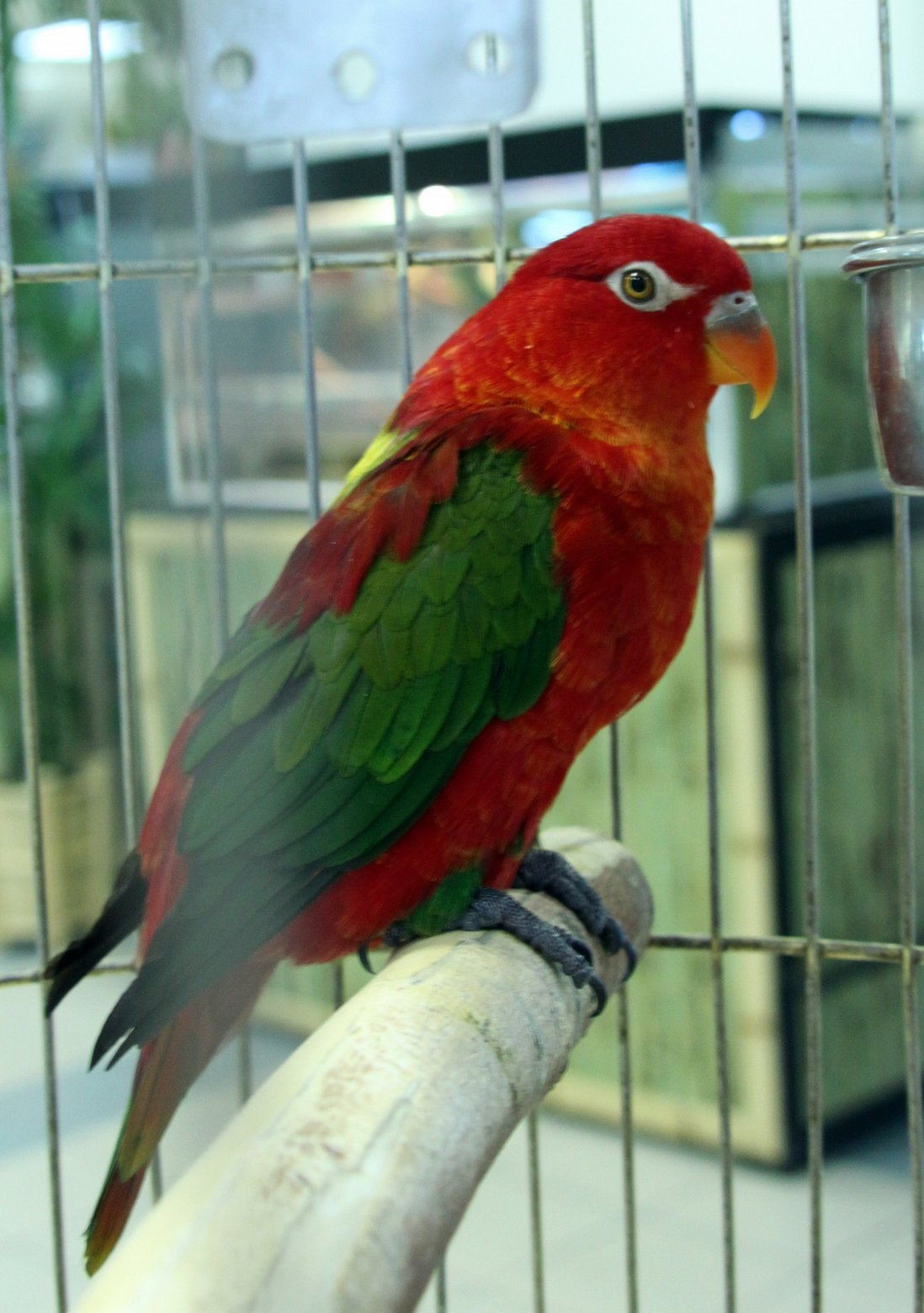 Лори попугай