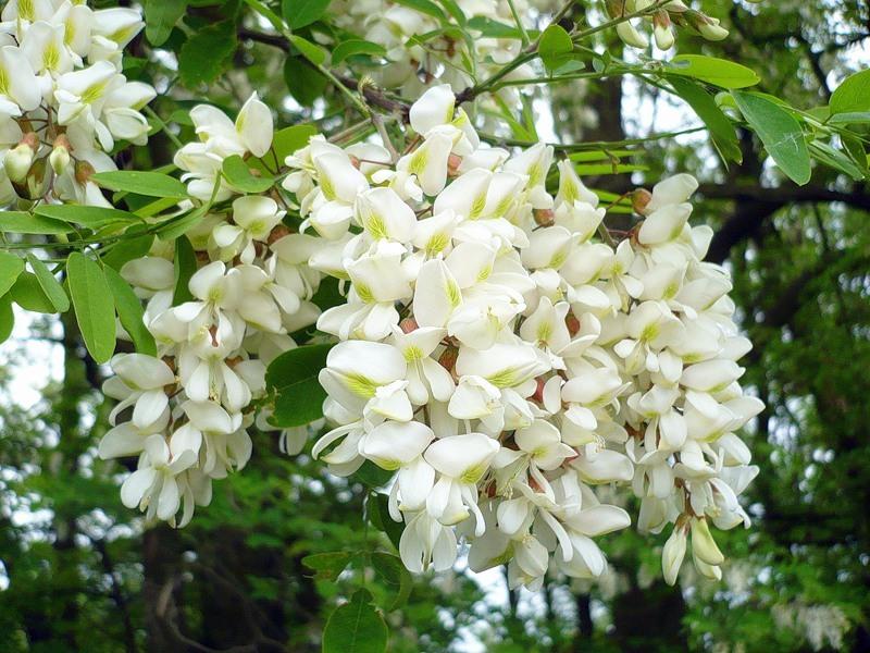 цветы белой акации