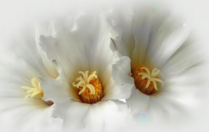 фото белых цветов