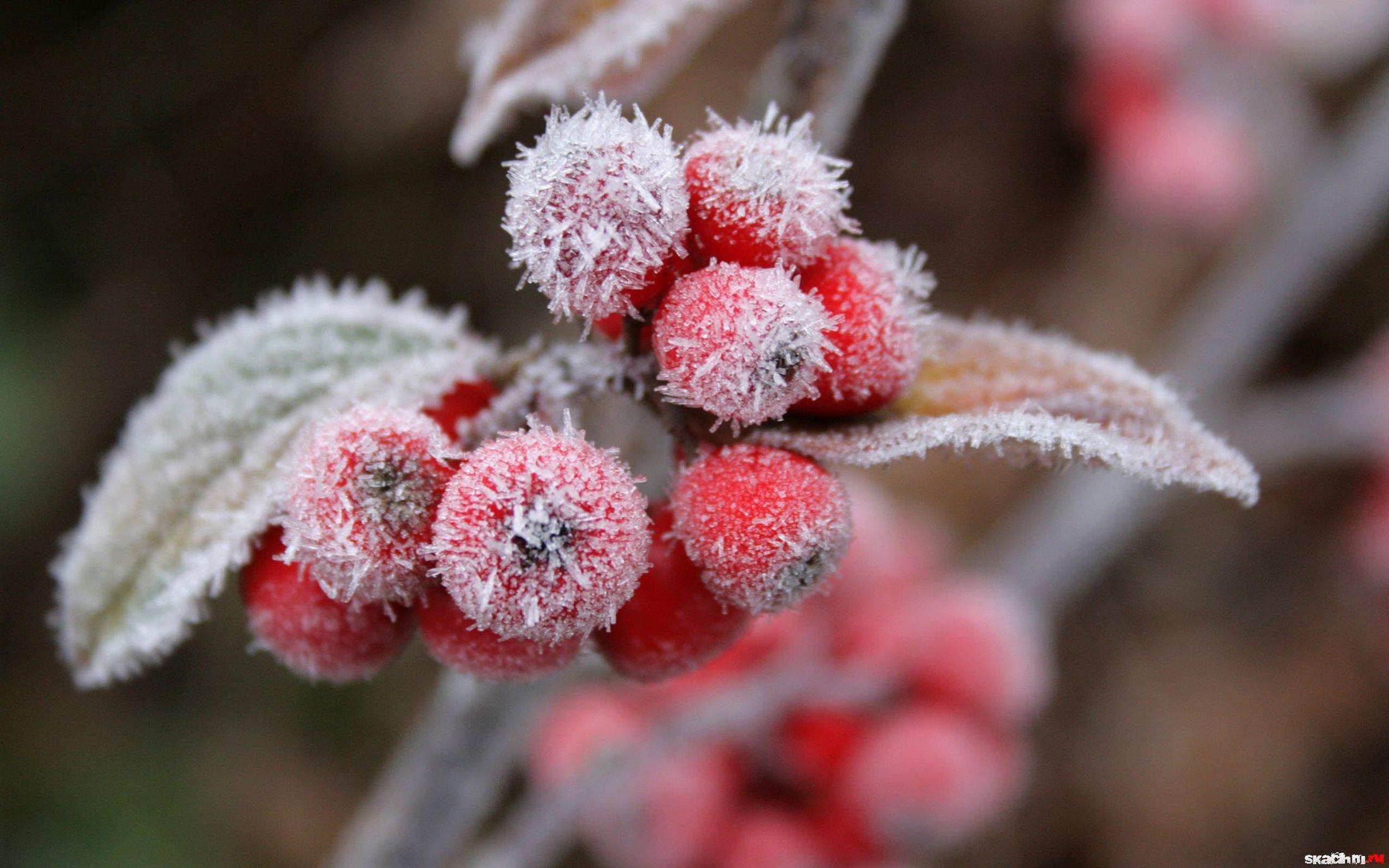 алые ягоды в снегу