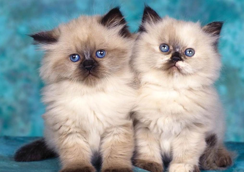 Пушистые котята фото