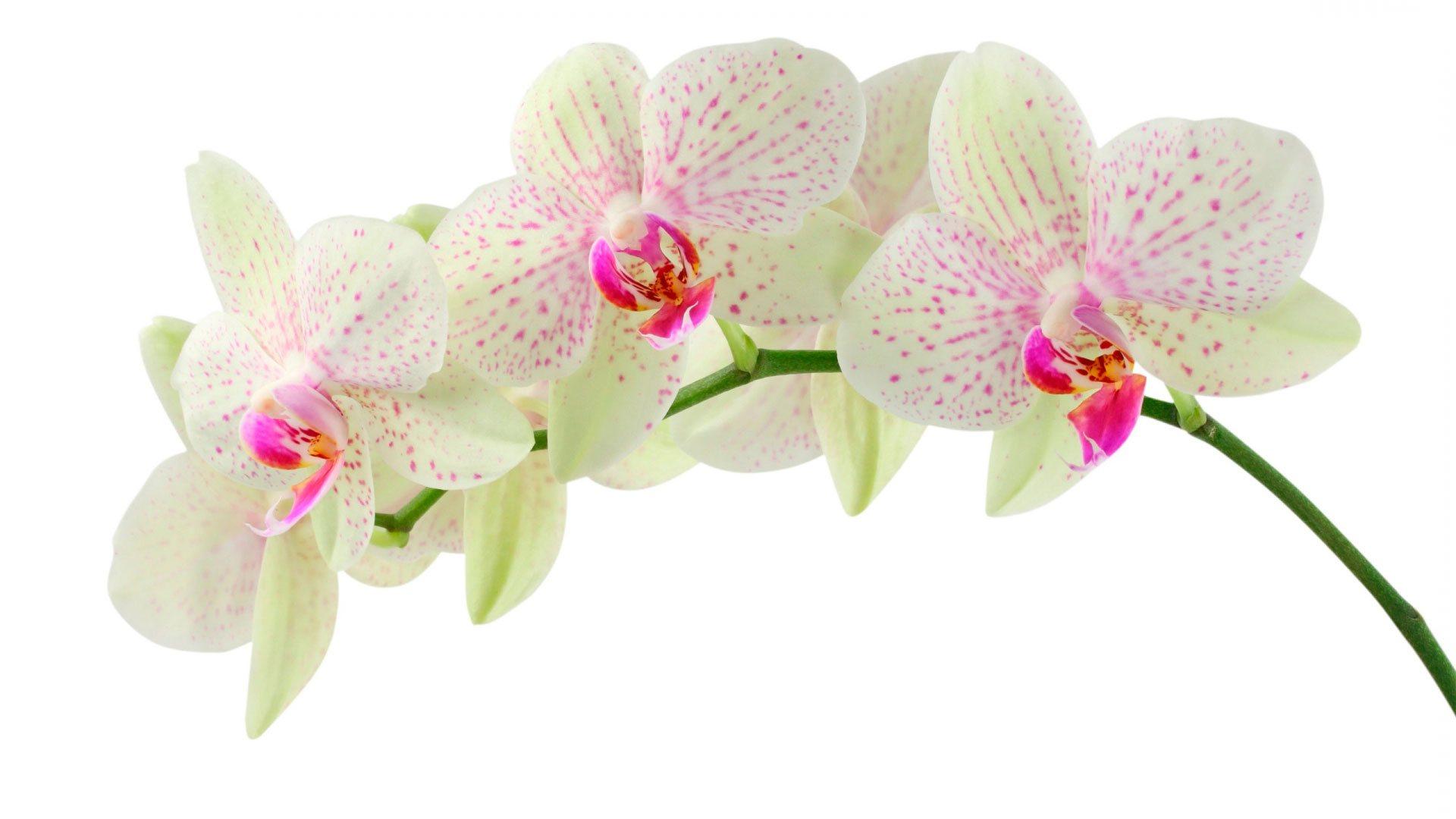 белая орхидея цветок
