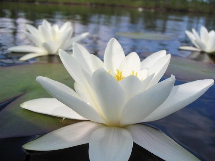 фото белых водяных лилий