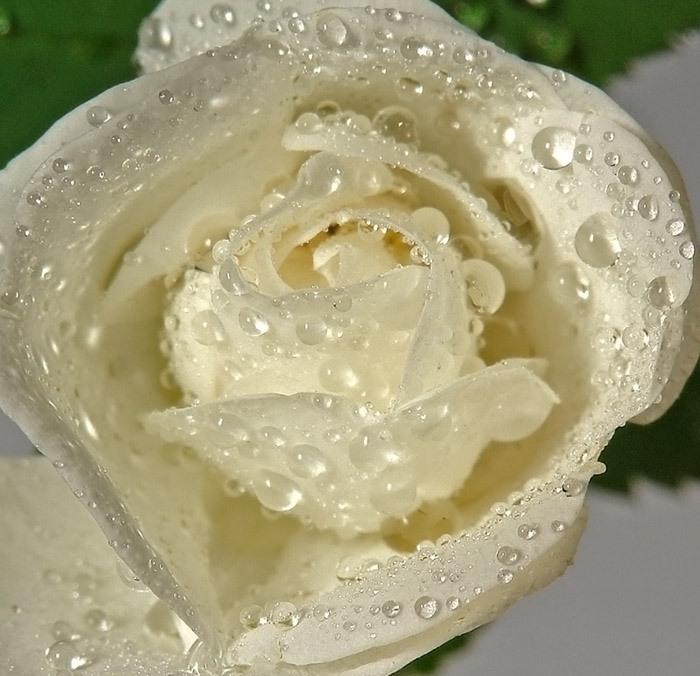 белая роза с капельками росы