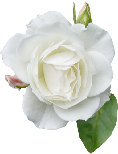 фото цветок на белом фоне