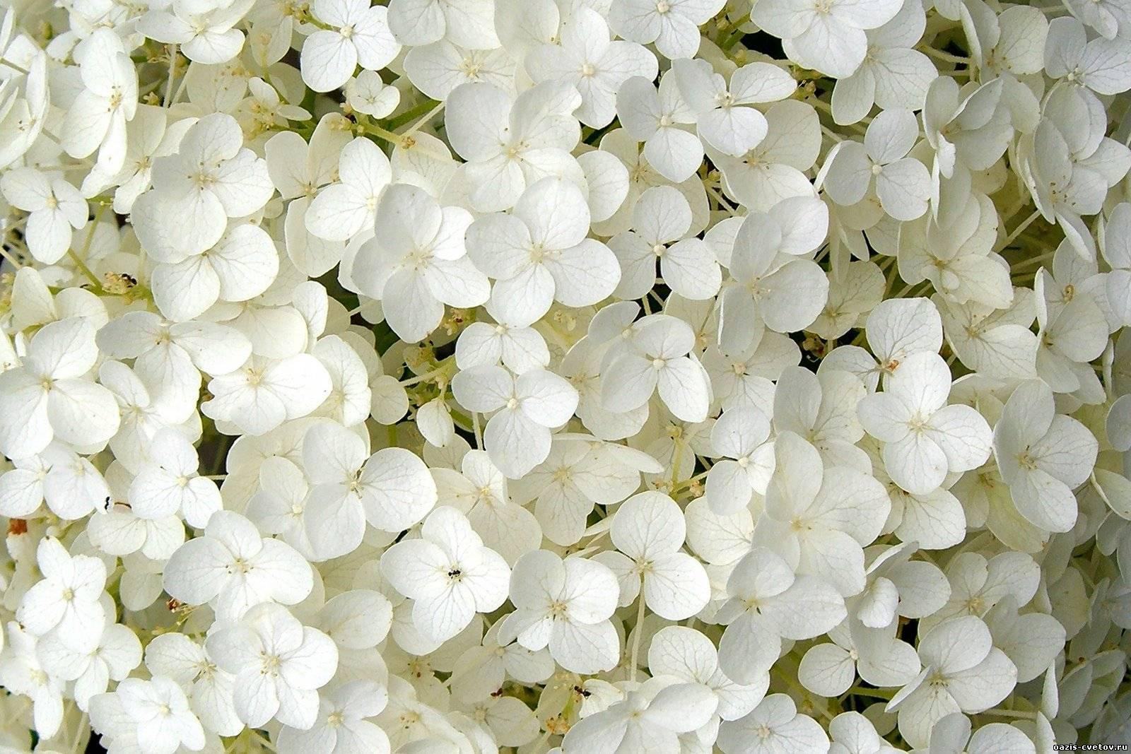 нежные лепестки белых цветов