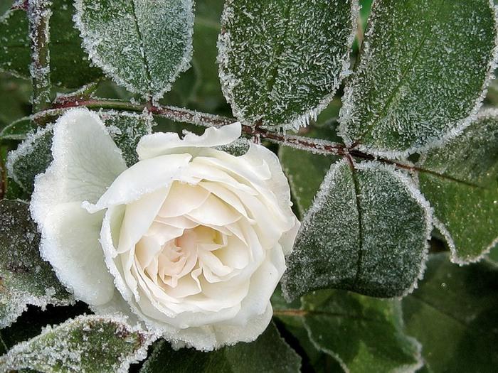белая роза в снегу