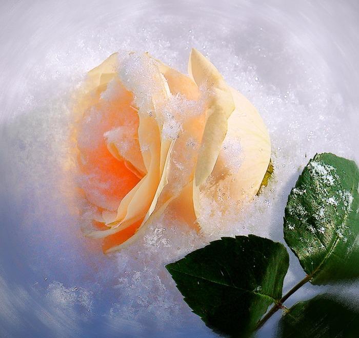 янтарная роза в снегу