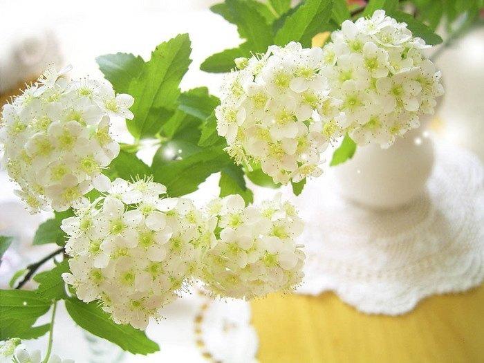 белоснежные цветы черемухи