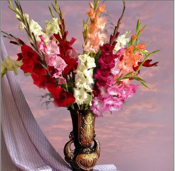 розовые гладиолусы