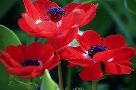 крупный красный цветок