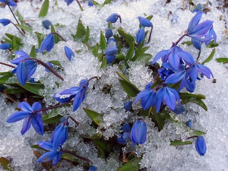 самые ранние весенние цветы