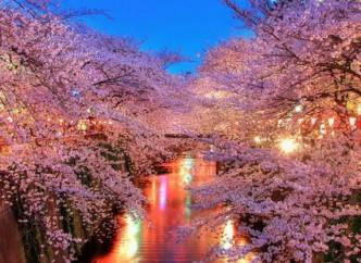 сакура цветущая вишня