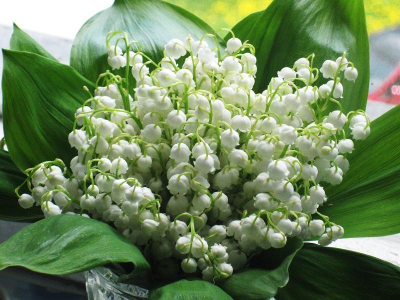 Белые ландыши майские цветы