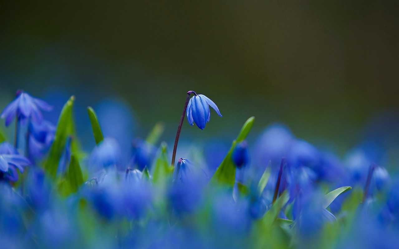 многолетние весенние цветы пролески