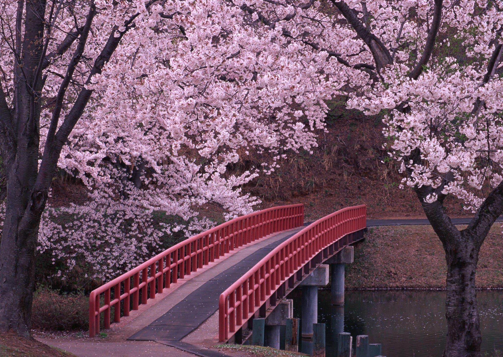 картинки в Японии цветет сакура