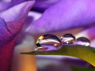 картинки капли росы на цветах
