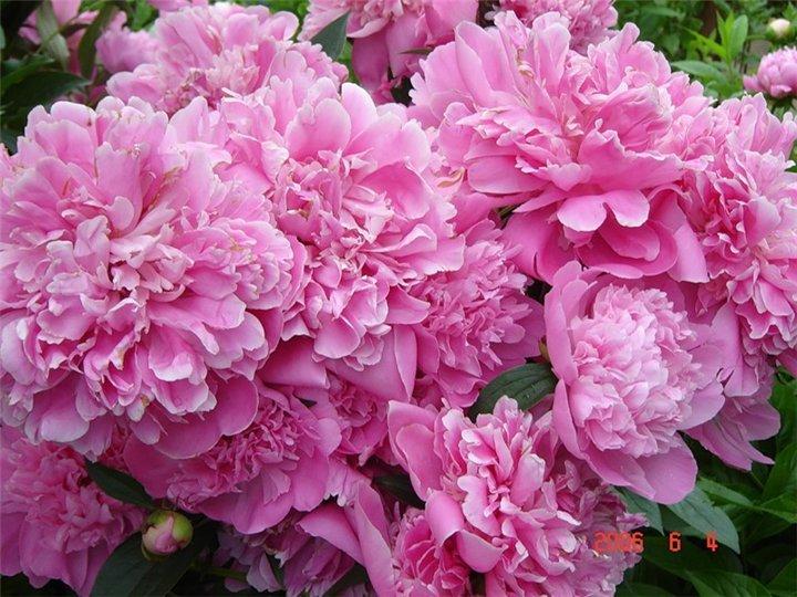 цветы пионы фото: