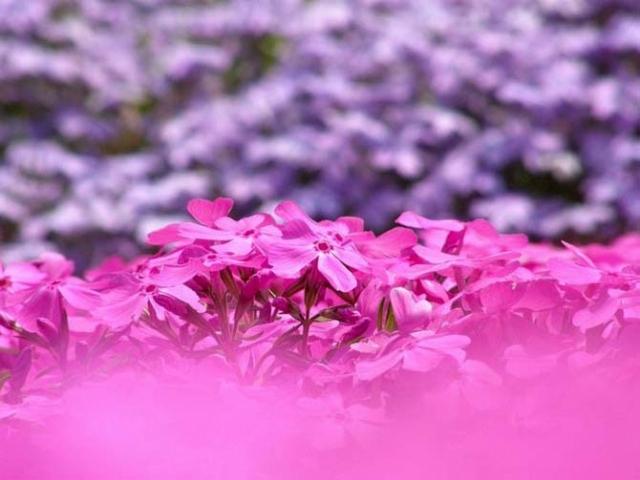 весна в розовом цвете