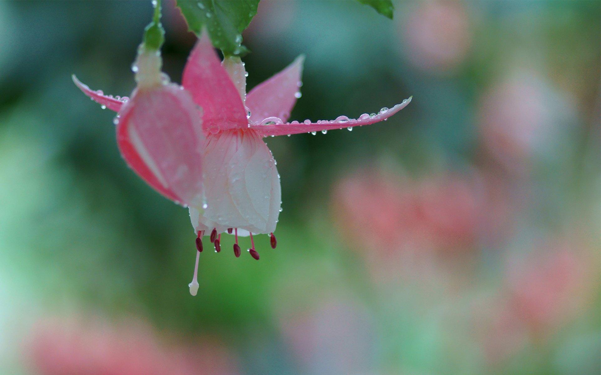 картинки капли росы