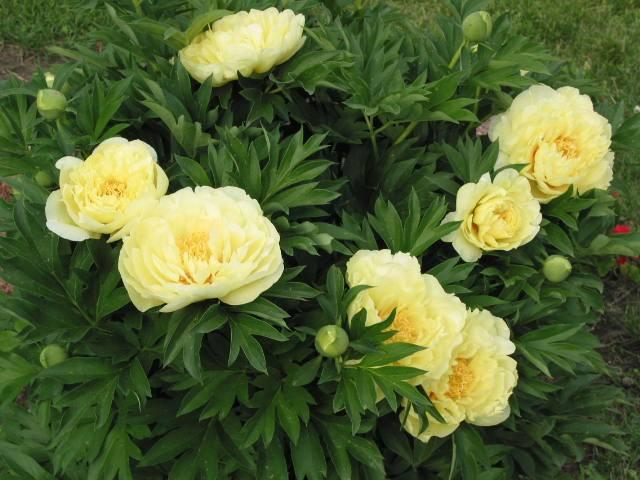 красивые цветы пионы фото