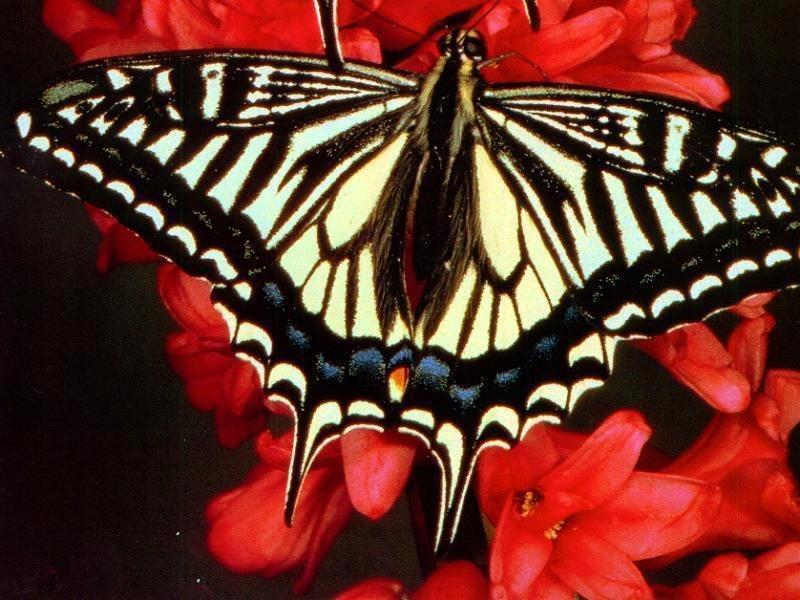 самые крупные бабочки Европы
