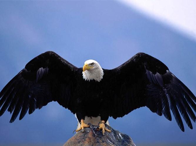 королевский орел