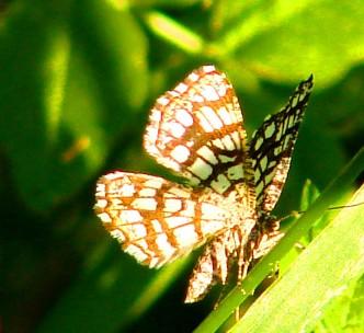 бабочки гиганты