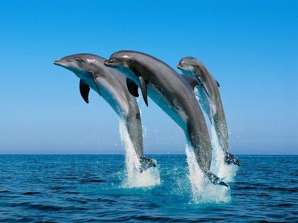 Акулы боятся дельфинов