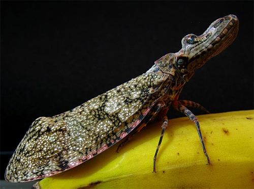 жук-аллигаторр