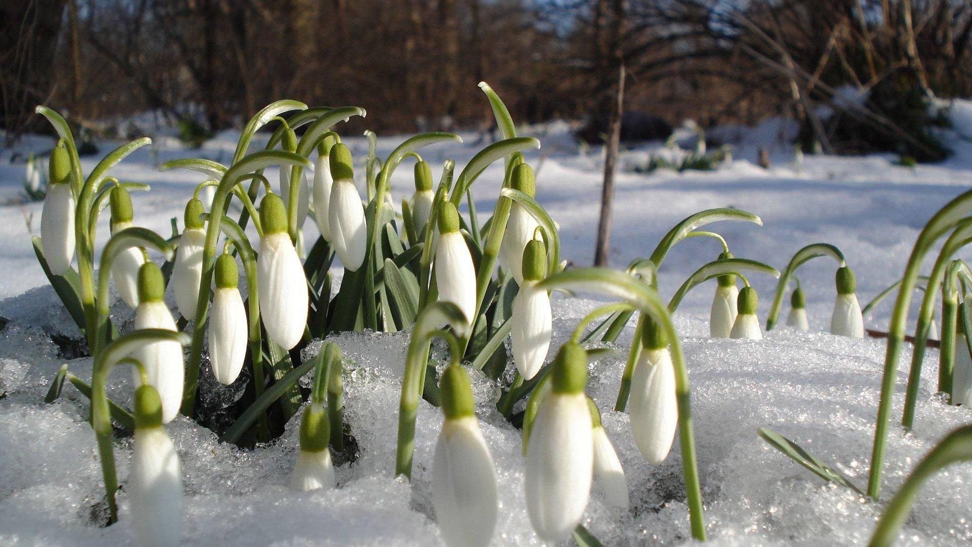 красивые белые цветы подснежники