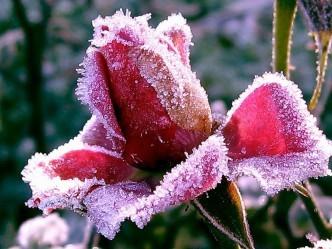 зима снег розы
