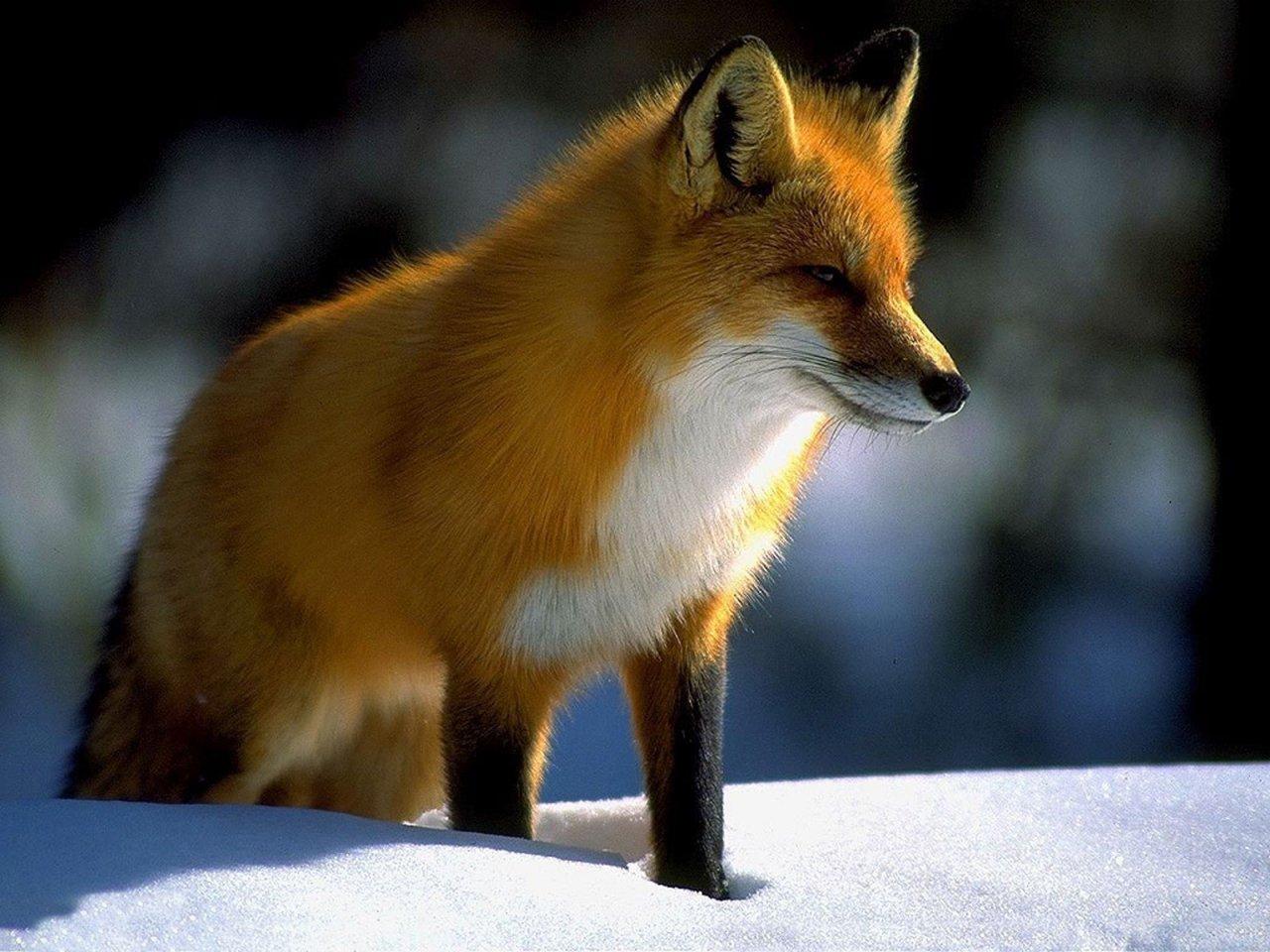 лиса хитрая рыжая