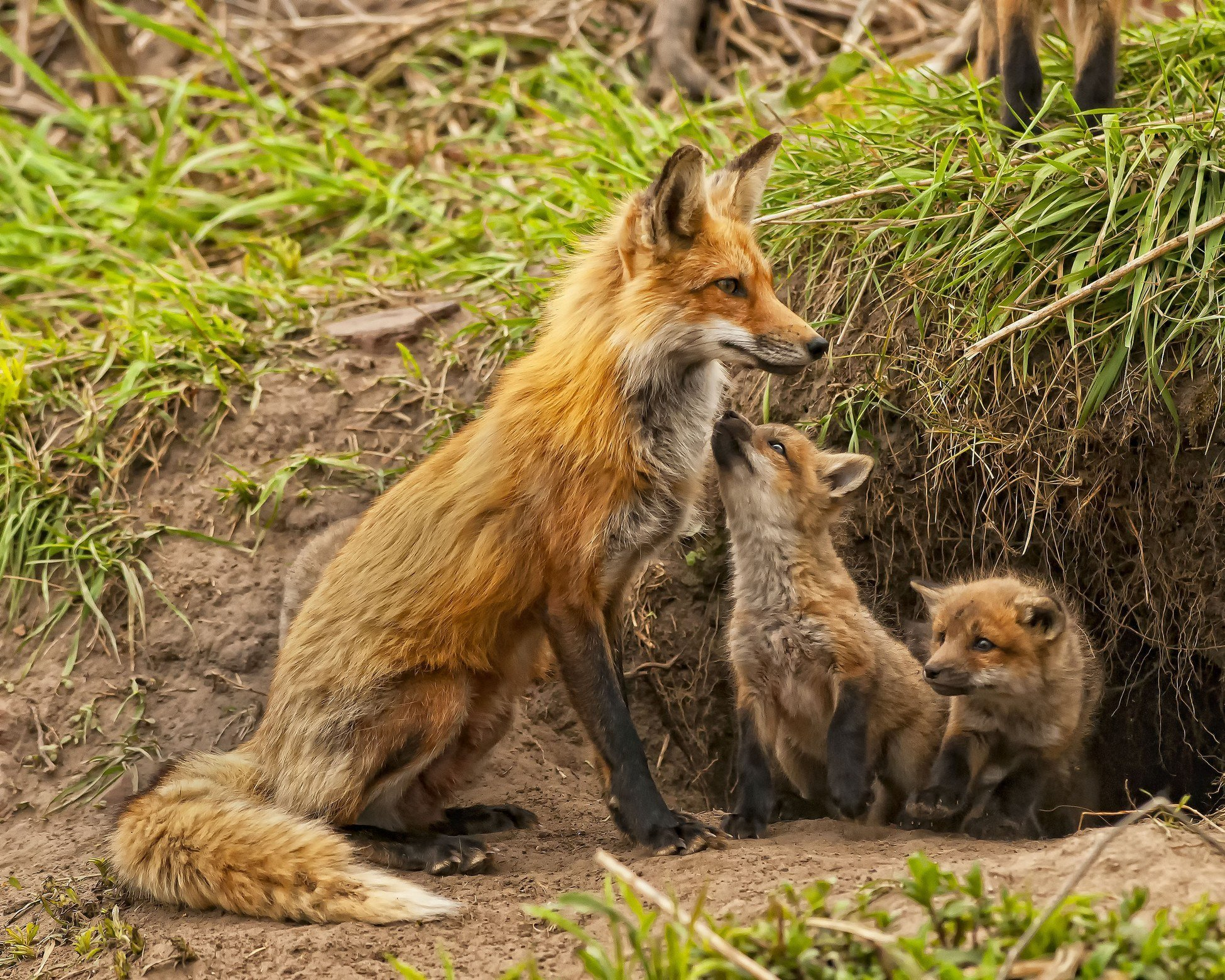 фото лиса с лисятами