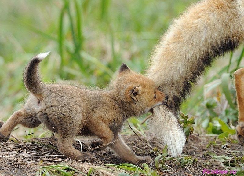 Почему у лисы кончик хвоста белый