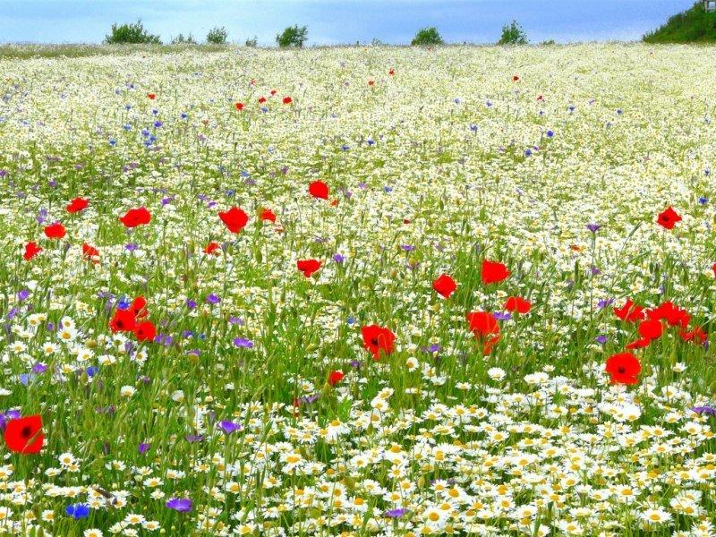 фото ромашковое поле