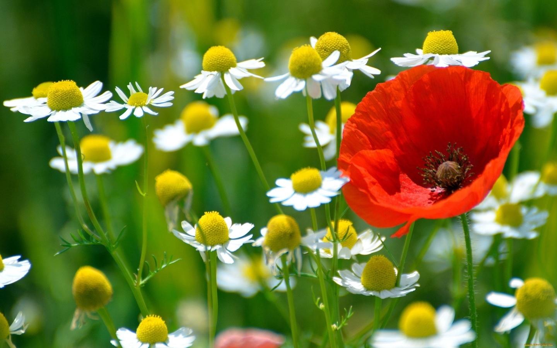 фото ромашки полевые