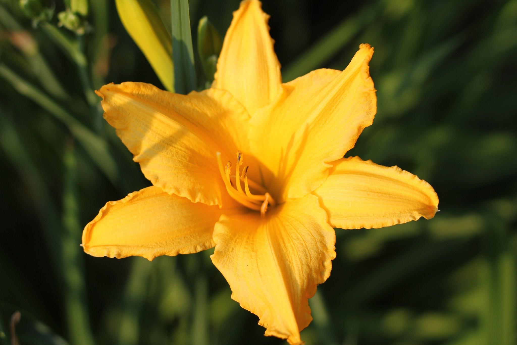 лилии цветы фотографии