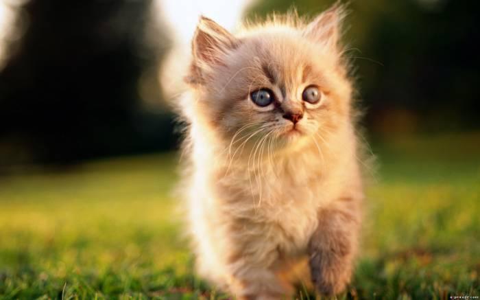 пушистый маленький рыжий котёнок