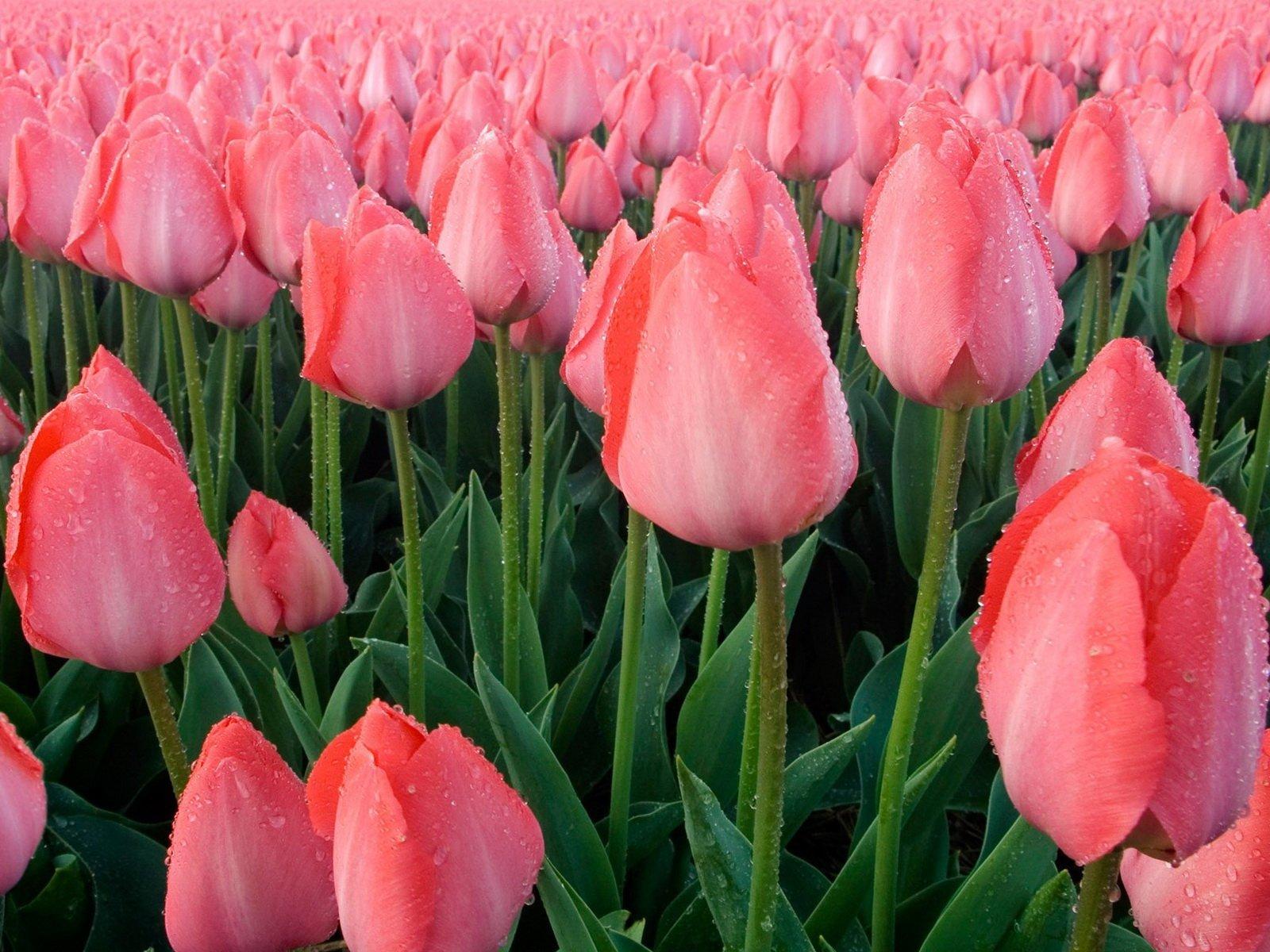 розовые тюльпаны весной