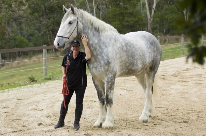 лошадь Английский Шайр