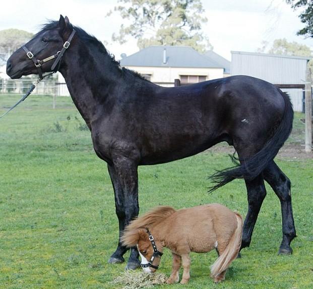 Аргентинская Фалабелла лошадь