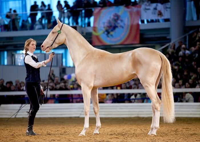 красивая лошадь Изабеловая
