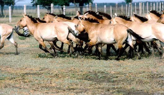 дикая азиатская лошадь