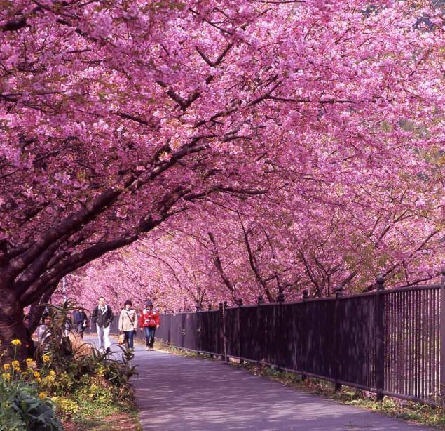 цветение сакуры в Японии 2015