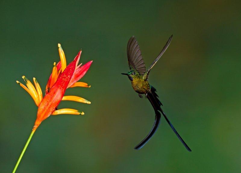 Длиннохвостый сильф колибри