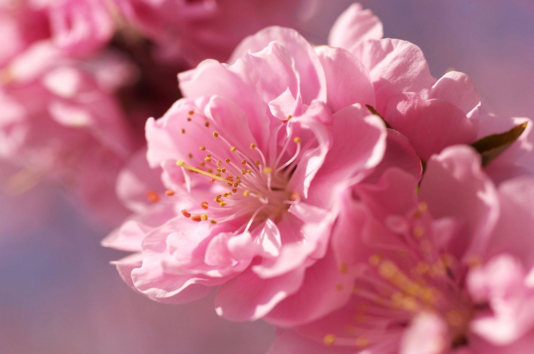 цветение сакуры +в японии 2015